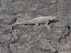 South Plaza Isl. Galápagos lava lizard (Microlophus albemarlensis)