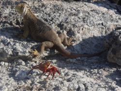 South Plaza Isl. Galapagos land iguana (Conolophus subcristatus) (10)