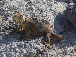 South Plaza Isl. Galapagos land iguana (Conolophus subcristatus) (2)