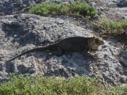 South Plaza Isl. Galapagos land iguana (Conolophus subcristatus) (3)