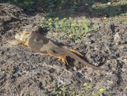 South Plaza Isl. Galapagos land iguana (Conolophus subcristatus) (4)
