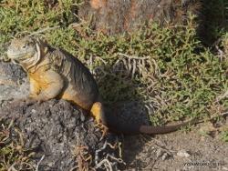 South Plaza Isl. Galapagos land iguana (Conolophus subcristatus) (5)