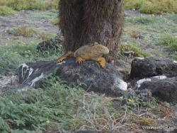 South Plaza Isl. Galapagos land iguana (Conolophus subcristatus) (7)