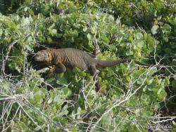 South Plaza Isl. Galapagos land iguana (Conolophus subcristatus) (8)
