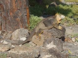 South Plaza Isl. Galapagos land iguana (Conolophus subcristatus)