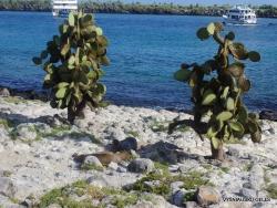 South Plaza Isl. Giant Opuntia tree (Opuntia echios var. echios) (12)
