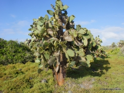 South Plaza Isl. Giant Opuntia tree (Opuntia echios var. echios) (2)