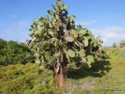 South Plaza Isl. Giant Opuntia tree (Opuntia echios var. echios) (2)