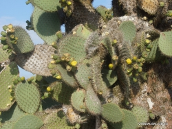 South Plaza Isl. Giant Opuntia tree (Opuntia echios var. echios) (5)