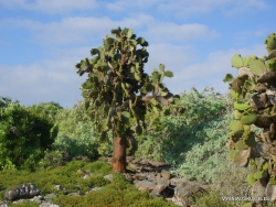 South Plaza Isl. Giant Opuntia tree (Opuntia echios var. echios)