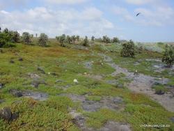 South Plaza Isl. Giant Opuntia trees (Opuntia echios var. echios) forest (3)