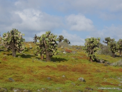 South Plaza Isl. Giant Opuntia trees (Opuntia echios var. echios) forest (4)