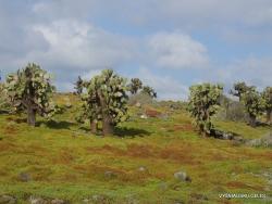 South Plaza Isl. Giant Opuntia trees (Opuntia echios var. echios) forest (4)