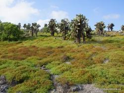 South Plaza Isl. Giant Opuntia trees (Opuntia echios var. echios) forest (5)