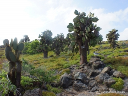 South Plaza Isl. Giant Opuntia trees (Opuntia echios var. echios) forest (6)