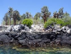 South Plaza Isl. Giant Opuntia trees (Opuntia echios var. echios) forest (7)