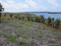 South Plaza Isl. Giant Opuntia trees (Opuntia echios var. echios) forest
