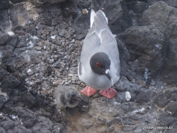 South Plaza Isl. Galapaginis kiras (Creagrus furcatus) (2)