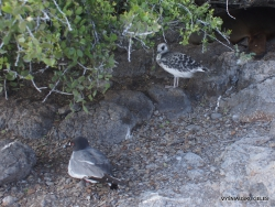South Plaza Isl. Swallow-tailed gull (Creagrus furcatus) (4)