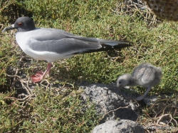 South Plaza Isl. Swallow-tailed gull (Creagrus furcatus)