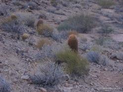 Didysis Kanjonas. West Rim. Turas sraigtasparniu ir valtimi. Kanjono dugnas. Ritininis ferokaktusas ( Ferocactus cylindraceus) (2)