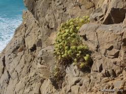 Agios Pavlos. Apoplýstra. Rock samphire (2)