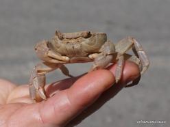 Agios Pavlos. Freshwater Crab