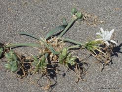 Agios Pavlos. Sea daffodil (Pancratium maritimum) (4)