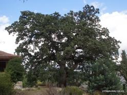 Agios Thomas. Downy oak (Quercus pubescens) (2)