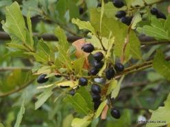 Agios Thomas. Fruits of laurel (Laurus nobilis)