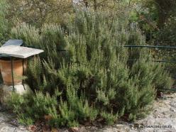 Agios Thomas. Rosemary