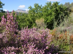 Amari. Autumn heather (Erica manipuliflora) (5)