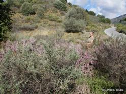 Amari. Autumn heather (Erica manipuliflora) (7)