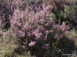 Amari. Autumn heather (Erica manipuliflora)