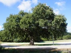 Amari. Holm oak (2)