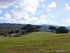 Amari. Italian stone pine (2)