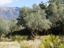 Amari. Old Olive trees plantation (3)