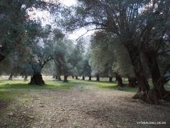 Amari. Old Olive trees plantation