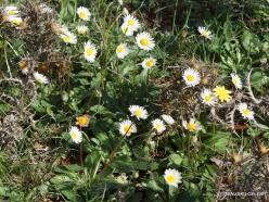 Amari. Southern daisy (Bellis sylvestris) (3)