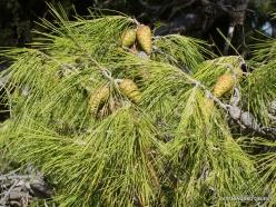 Knossos. Turkish pine (Pinus brutia) (2)