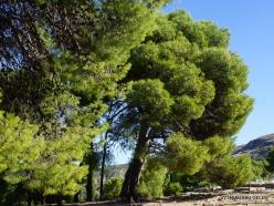 Knossos. Turkish pine (Pinus brutia) (4)