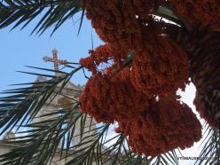 Paliani Monastery. Cretan Date Palm (Phoenix theophrasti)