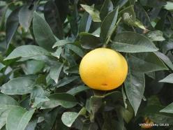 Paliani Monastery. Grapefruit (Citrus × paradisi)