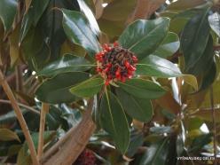 Paliani Monastery. Southern magnolia (Magnolia grandiflora)