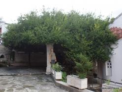 Paliani Monastery. Very old myrtle tree (Myrtus communis) (4)