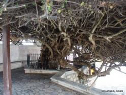 Paliani Monastery. Very old myrtle tree (Myrtus communis) (5)