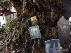 Paliani Monastery. Very old myrtle tree (Myrtus communis) (6)