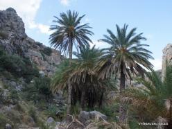 Preveli gorge. Cretan Date Palm (Phoenix theophrasti) (4)