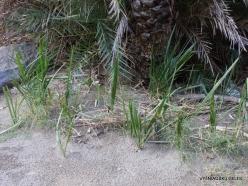 Preveli gorge. Cretan Date Palm (Phoenix theophrasti) seedlings.
