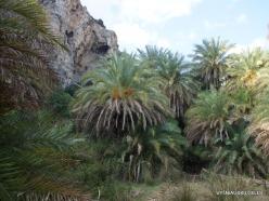 Preveli gorge. Cretan Date Palm (Phoenix theophrasti)